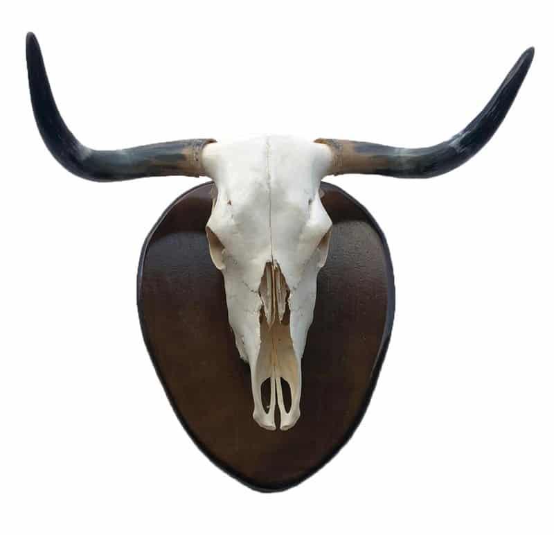Cuernos de toro bravo