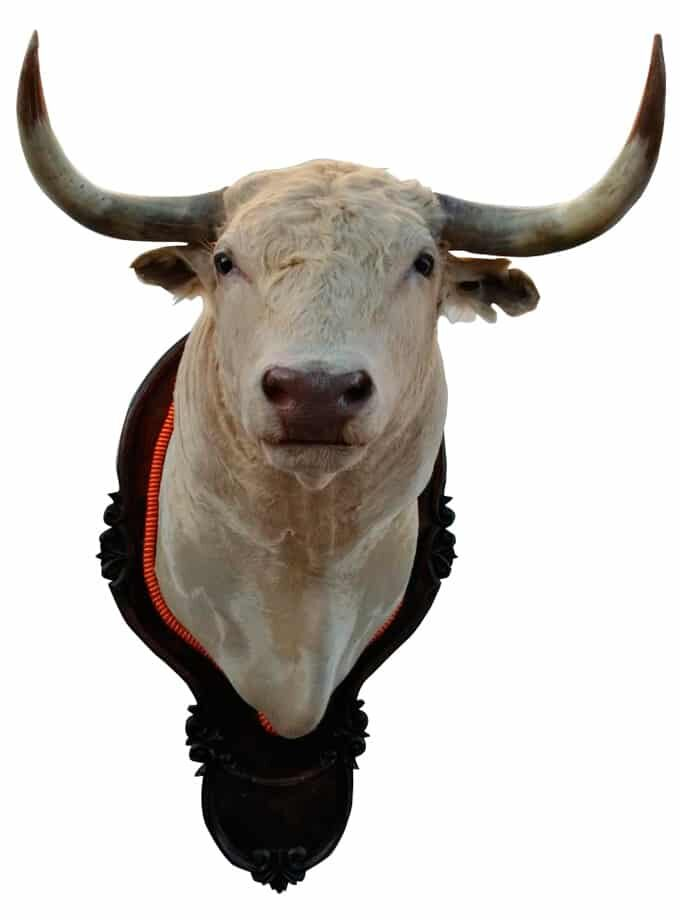 Bull head from the Tomás Prieto de la Cal livestock